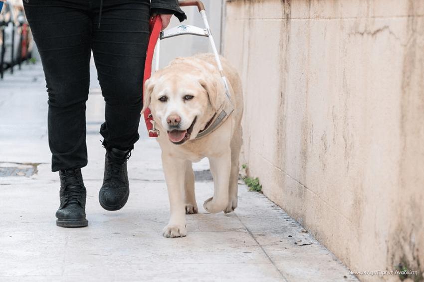 Εκπαιδευμένος σκύλος οδηγός της Σχολής Λάρα καθοδηγεί με ασφάλεια άτομο με βλάβη στην όραση