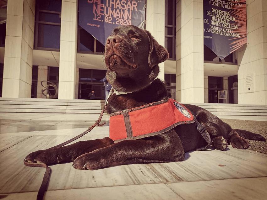 Μαύρος Labrador σκύλος - οδηγός της Ελληνικής Σχολής Σκύλων-Οδηγών «Λάρα» ξεκουράζεται στο προάυλιο του Μεγάρου Μουσικής